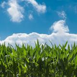 Corn field 440338 1920